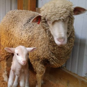 Wanda's First Lamb