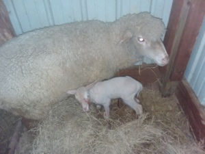 Baby lamb Axel