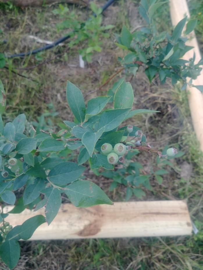 Baby Blueberries