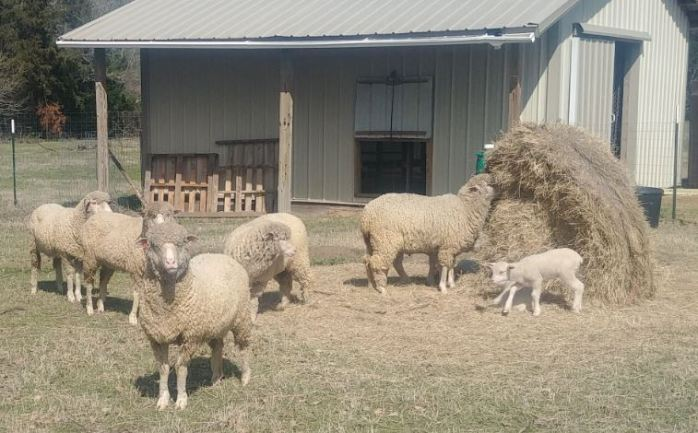 2019 Ewes and lambs at the barn