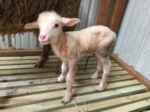 2020 First Lamb